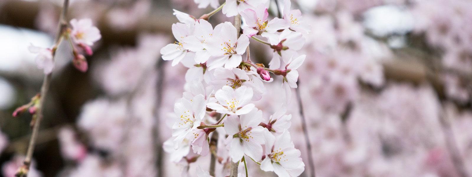 千手院しだれ桜